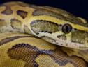 食われる前の少年画像!体長8mのニシキヘビと暮らす中国人