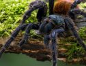 【動画あり】タランチュラに噛まれたらどうなる!?体長20cmの巨大グモに驚愕