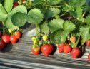 またお前か!!韓国のパクリ疑惑!ついにバレた苺の違法栽培