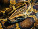 蛇に人間の愛は通じない!実はペットのパイソンに狙われている行動